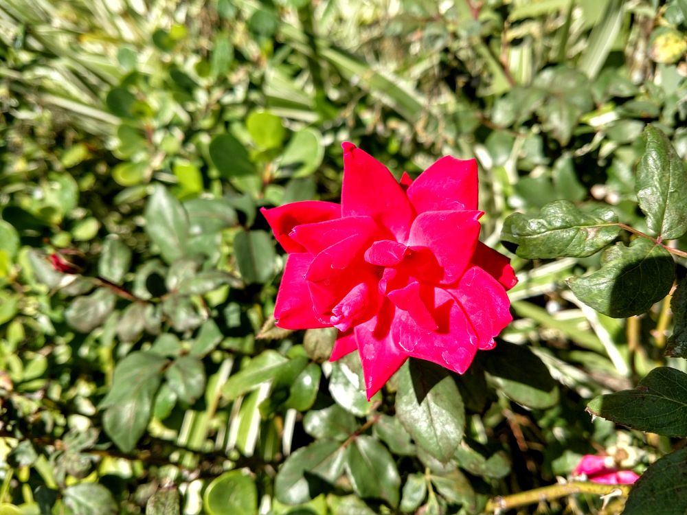 Photo in Nature #rose #bloom #flower #work #bonita springs #florida #igotone.com