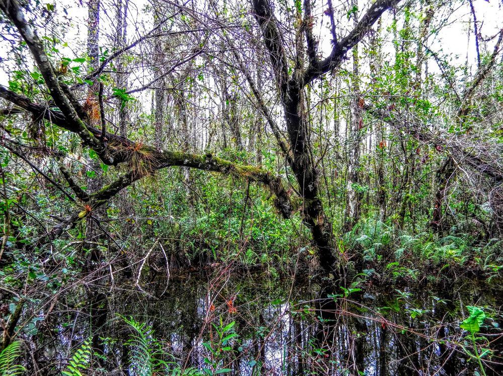 Photo in Nature #impossible #lives #skunk ape #bigfoot #sasquatch #east main tram #trail #fakahatchee strand #preserve #state park #everglades #florida