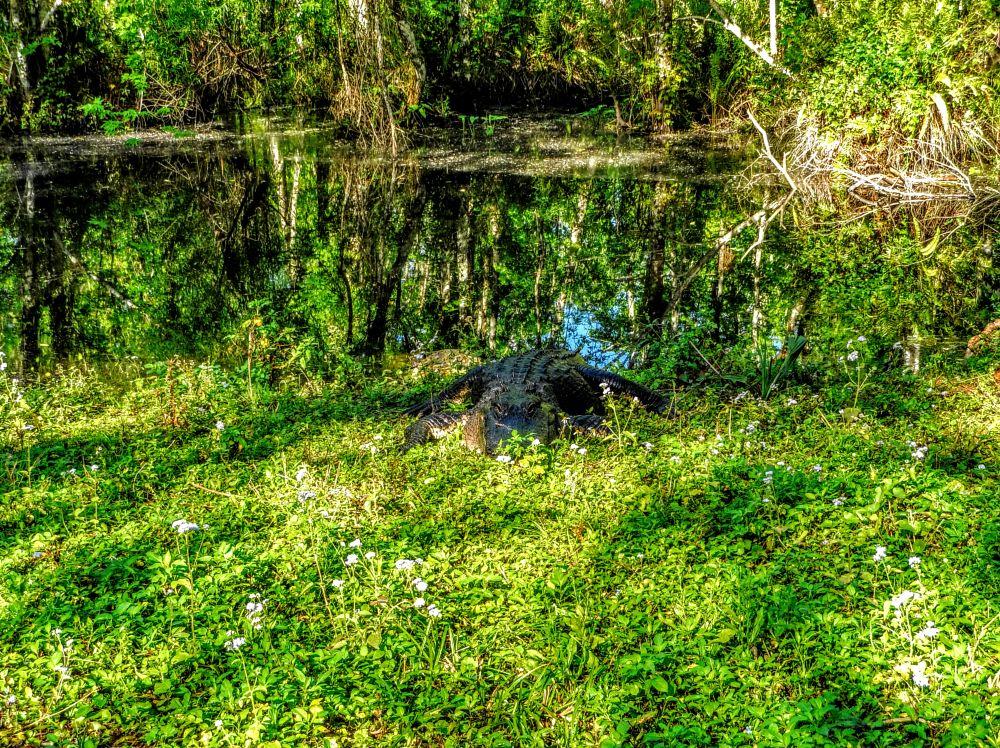 Photo in Nature #alligator #giant #basking #reptile #trail #nature #c.r.e.w. #bird rookery swamp #everglades #florida