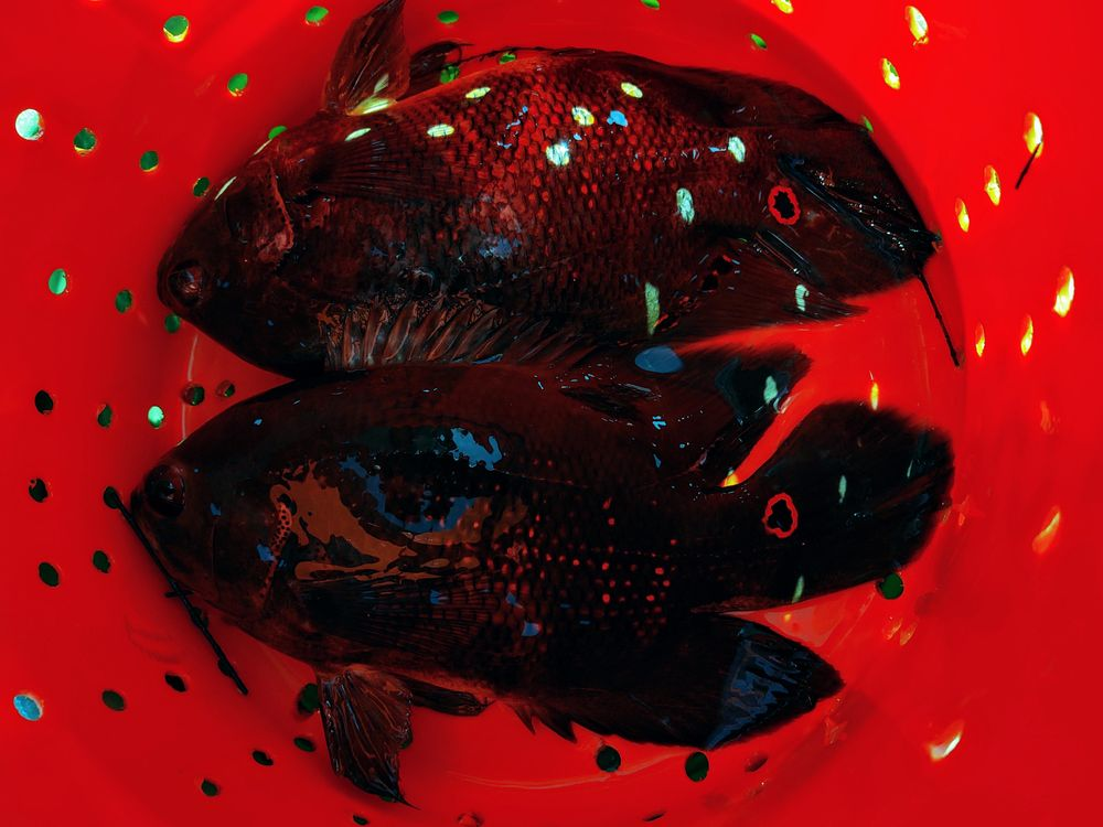 Photo in Nature #oscar #fish #fishing #bucket #nature #outdoors #flint-pen strand #everglades #florida