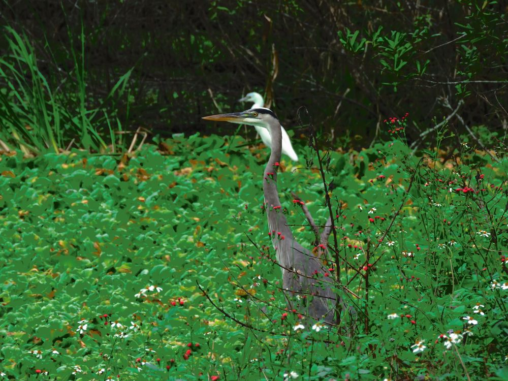 Photo in Nature #christmas #colors #great blue heron #heron #great egret #egret #birds #nature #trail #c.r.e.w. #bird rookery swamp #everglades #florida