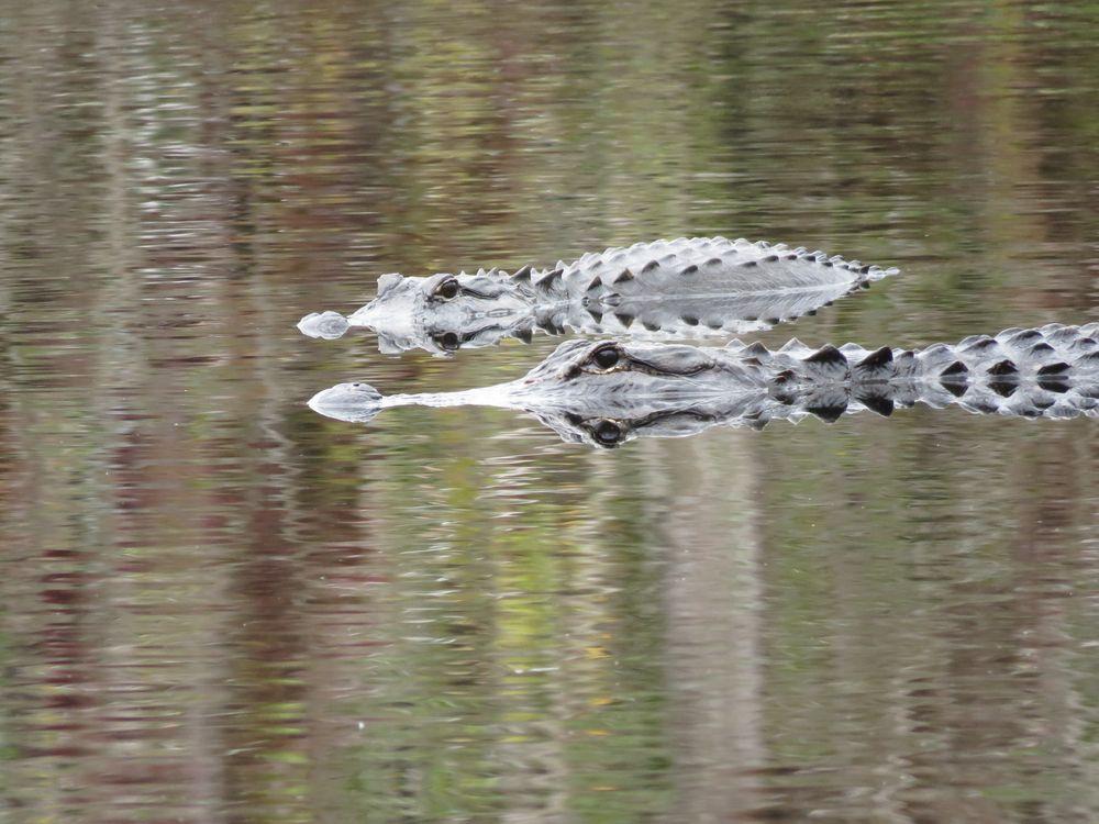Photo in Nature #alligators #reptiles #reflection #east main tram #trail #fakahatchee hilton #cabin #fakahatchee strand #preserve #state park #everglades #florida