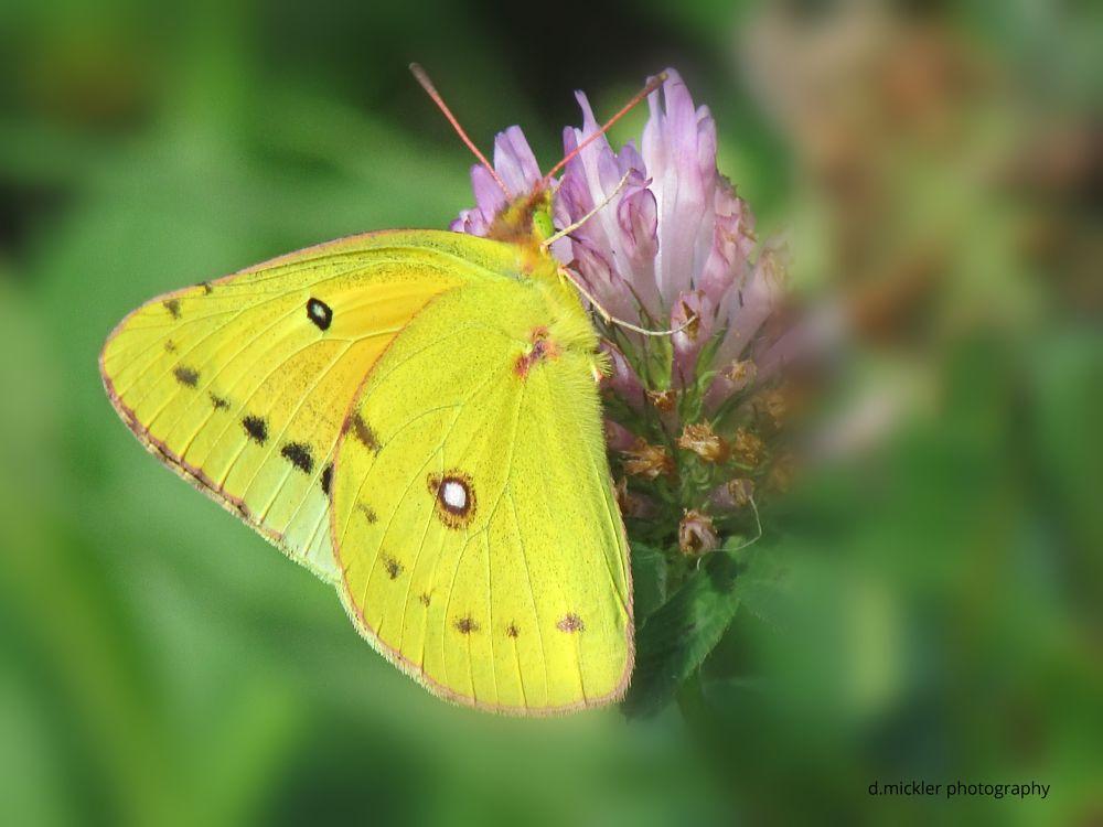 Photo in Macro #butterfly #yellow #wings #flower #summer