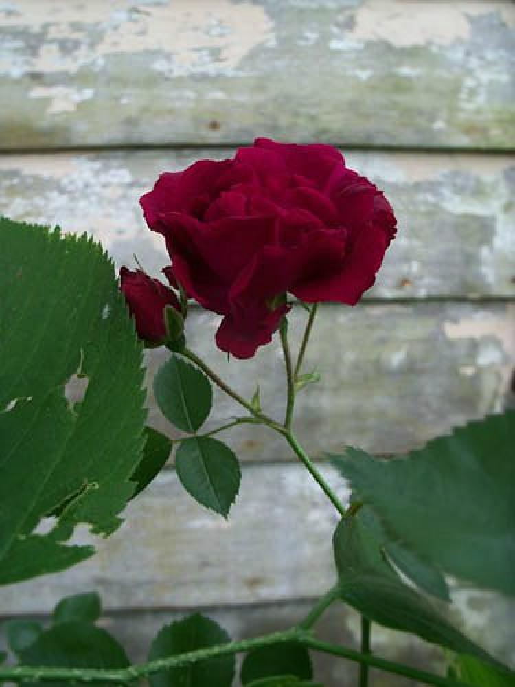 Photo in Random #rose #flower #garden #yard #leaves