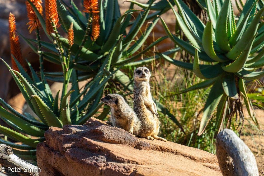 Photo in Animal #taronga zoo #sydney harbour #mosman #meerkats #sony a7ii #tamron 28-200 zoom lens