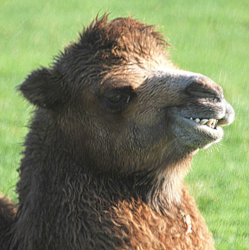 Photo in Animal #camel #animal #zoo