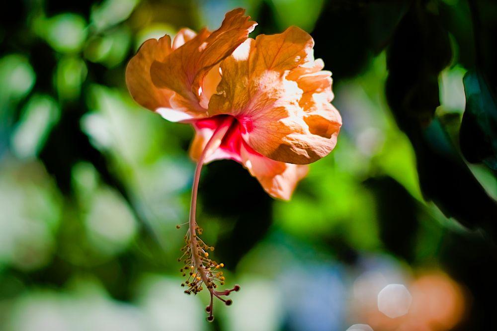 Photo in Nature #hibiscu #sunlight #bokeh #nature #my garden