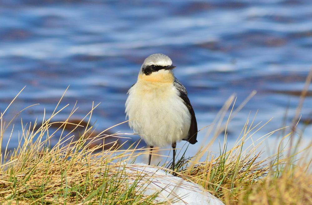 Photo in Animal #wheateater #lochindorb #bird
