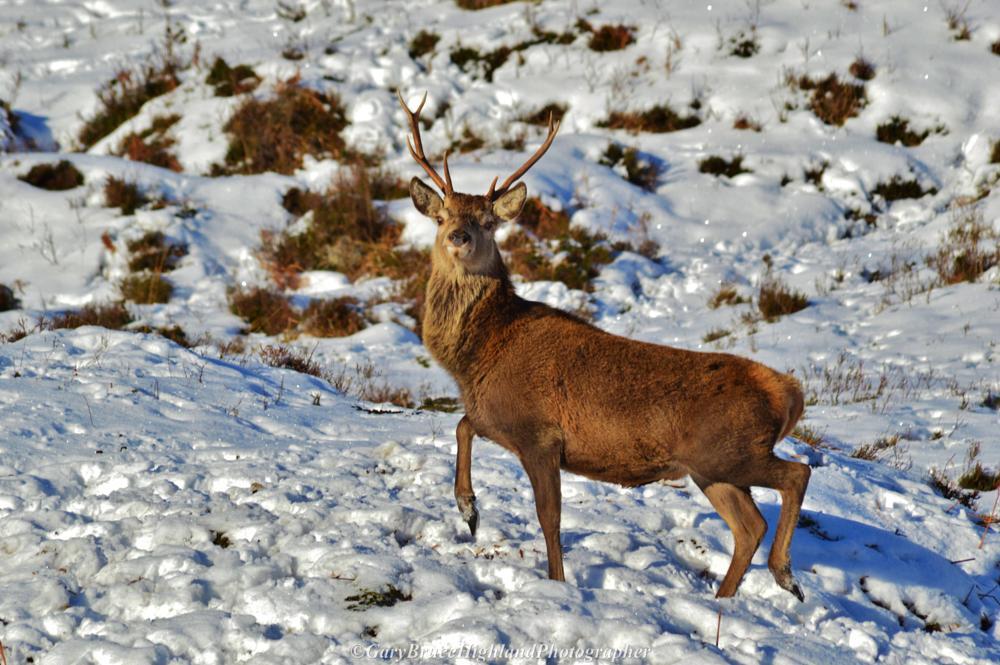 Photo in Animal #red deer #stag #snow #glen cannich #scottish highlands
