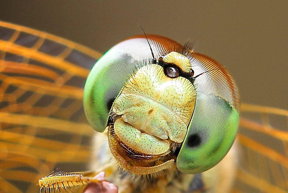 Photo in Macro #dragonfly #wildlife