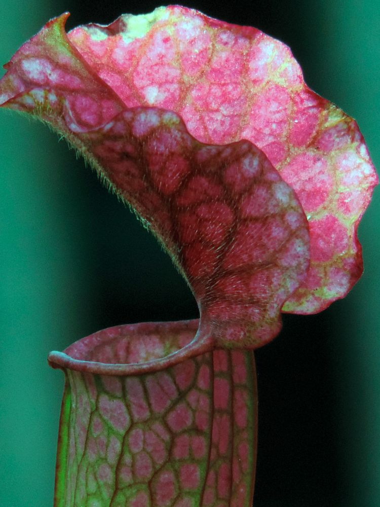 Photo in Nature #pitcher #pitcher plant #plant #exotic #nature #garden #greenhouse #flower
