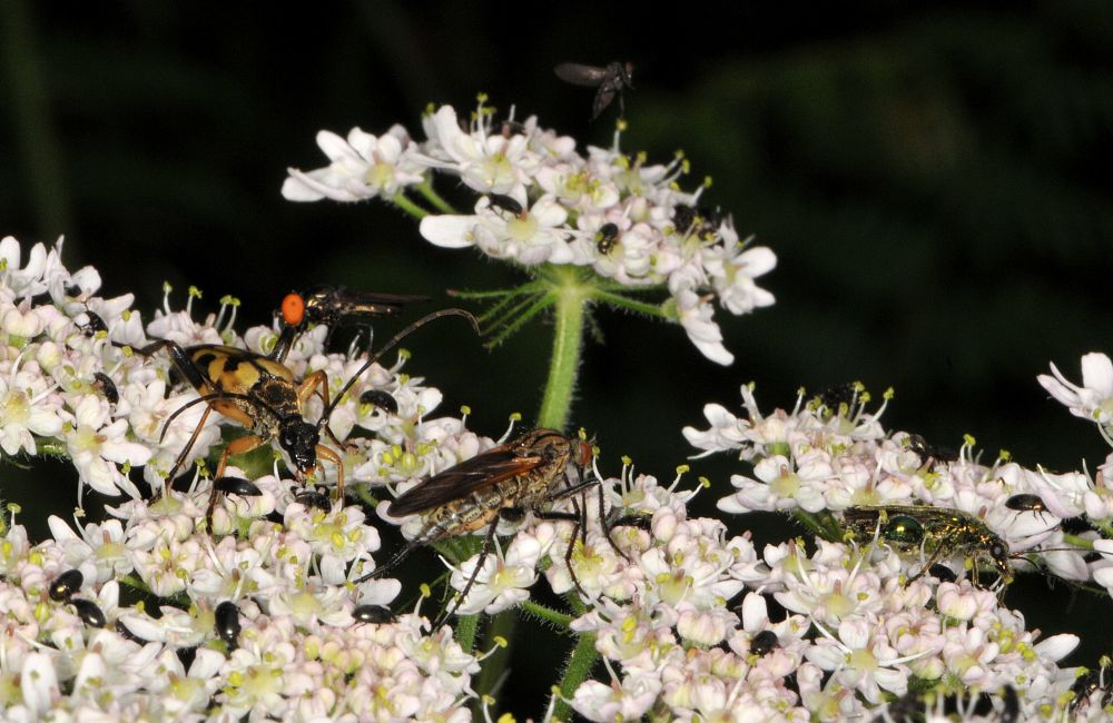 Photo in Nature #insects #nature #hogweed