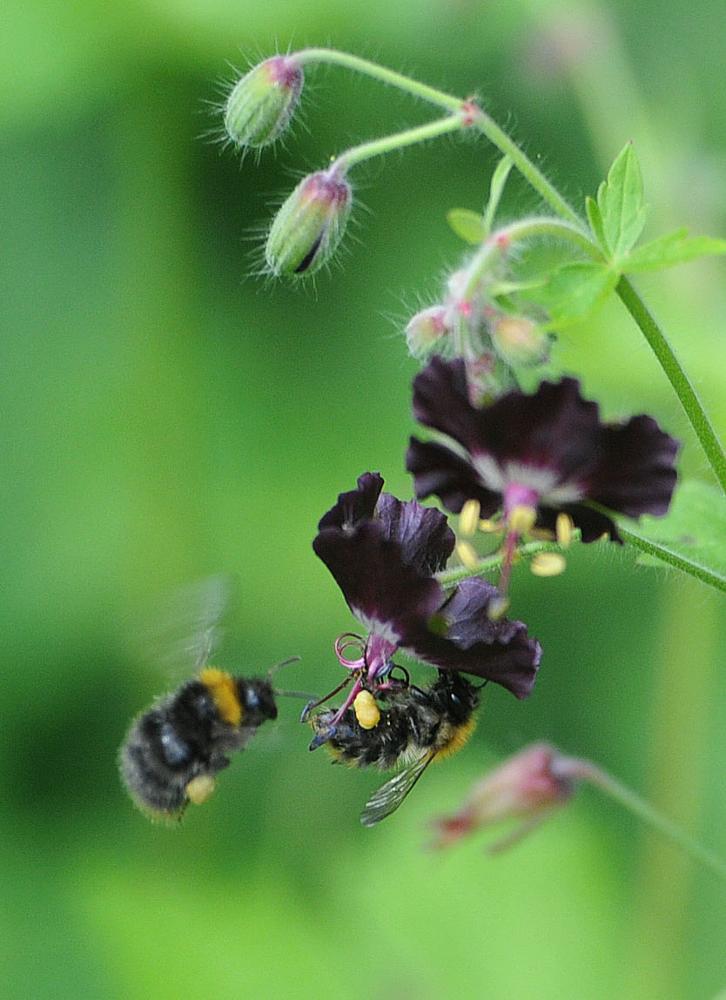 Photo in Animal #bee #bees #bumblebee #garden #flower