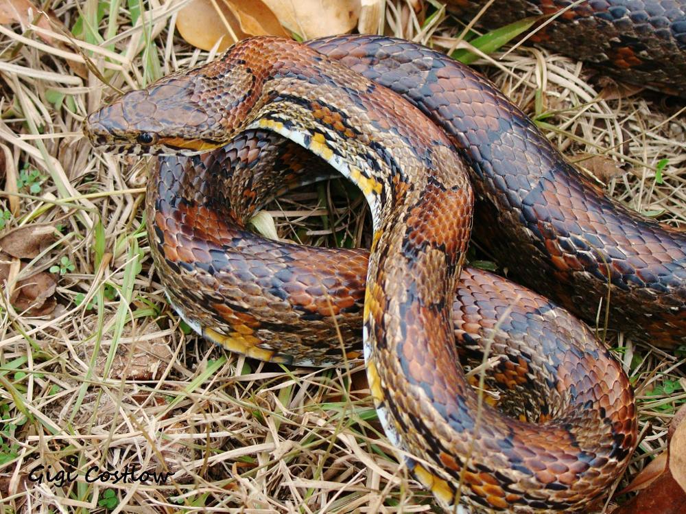 Photo in Animal #corn snake