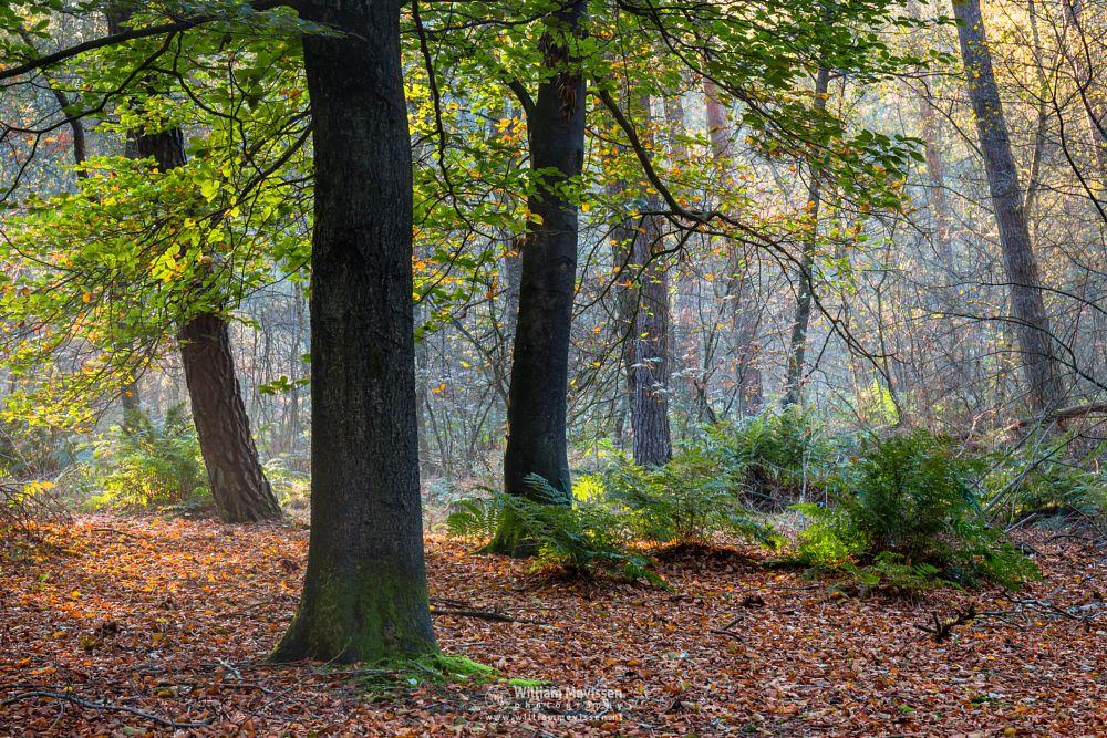 Photo in Random #venray #limburg #noord-limburg #merselo #ballonzuilbossen #herfst #zon #beech #autumn #sunny #mood #mist #light #woods #forrest #pine #netherlands