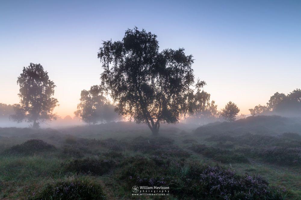 Photo in Nature #eckeltsebergen #eckeltse #heather #blooming #purple #pink #mist #fog #maasduinen #limburg #noord-limburg #nieuw-bergen #bergen #nature #light #mood #sunrise #dunes #twilight