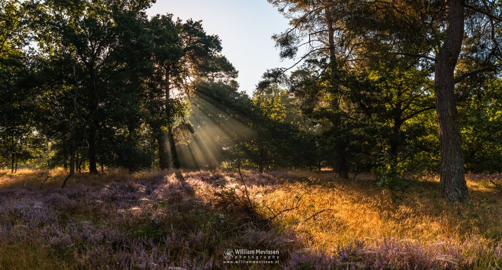 Photo in Nature #boshuizerbergen #boschhuizerbergen #limburg #venray #noord-limburg #nature #nature reserve #forest #woods #netherlands #pine #sunrise #light #heather #pano #panorama #rays #beams #hdr
