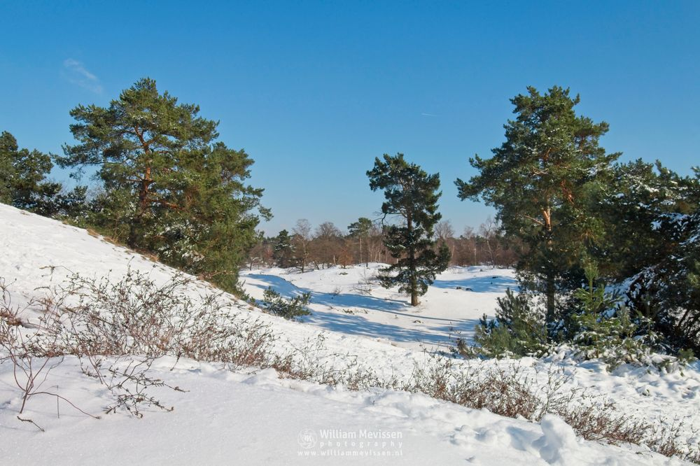 Photo in Landscape #snow #winter #dunes #venray #sanddunes #snowdunes #boshuizerbergen #limburg #noord-limburg #winterscape #pine #trees