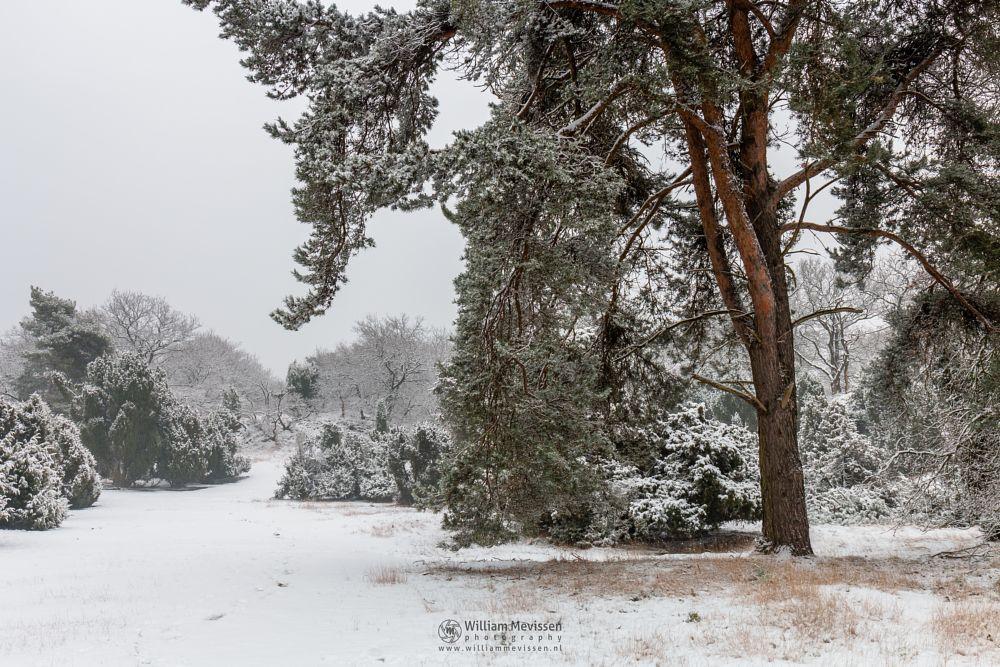 Photo in Nature #boshuizerbergen #boschhuizerbergen #limburg #woods #nature #netherlands #snow #dunes #juniper #winter #forest #pine #venray #noord-limburg #path