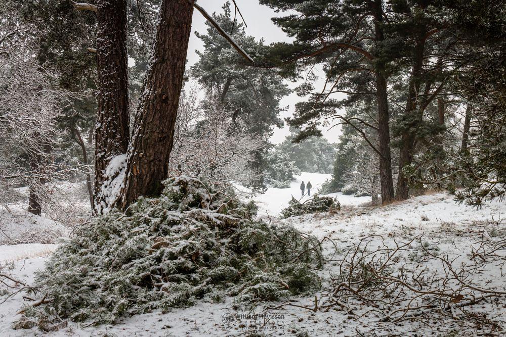 Photo in Nature #boshuizerbergen #boschhuizerbergen #limburg #venray #noord-limburg #nature #forest #woods #netherlands #pine #snow #winter #juniper