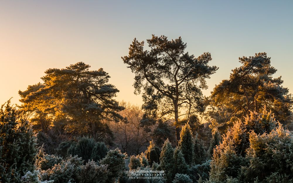 Photo in Nature #boshuizerbergen #boschhuizerbergen #limburg #noord-limburg #venray #forest #pine #juniper #sunrise #light