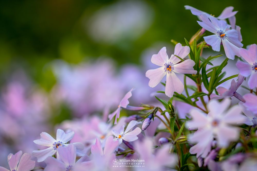 Photo in Macro #flowers #macro #light #bokeh #blue #pink #garden #plant #phlox #sebulata #emerald cushion blue