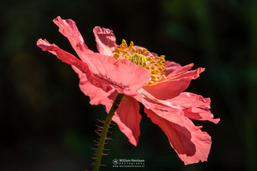 Photo in Macro #limburg #noord-limburg #venray #nature #spring #field #blooming #pink #poppy #meadow #klaproos #macro