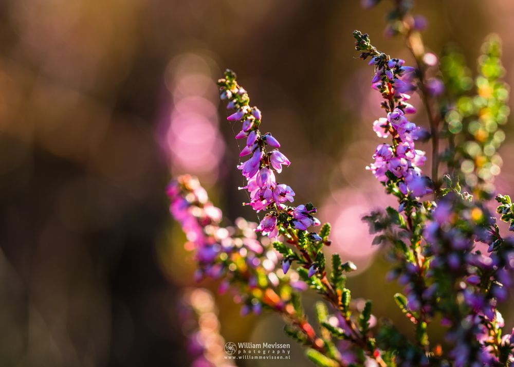 Photo in Macro #bergerheide #heathland #maasduinen #limburg #noord-limburg #nieuw-bergen #bergen #national park #nature #light #macro #heather #bokeh