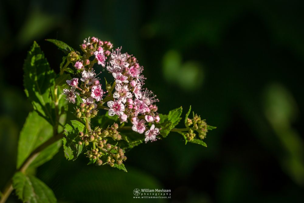 Photo in Macro #spiraea #japonica #little #princess #pink #macro #sunlight #spring #green