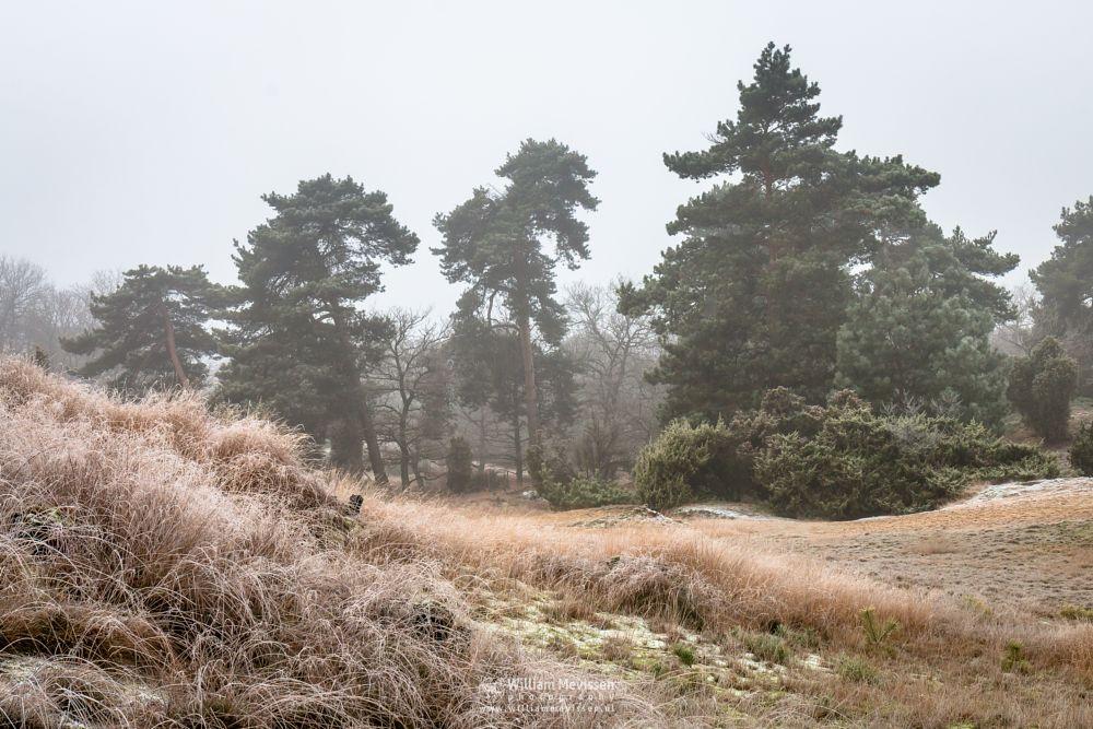 Photo in Landscape #boshuizerbergen #boschhuizerbergen #limburg #venray #oostrum #netherlands #frost #cold #winter #nature #noord-limburg #forest #juniper thickets #juniper #thickets #grasses