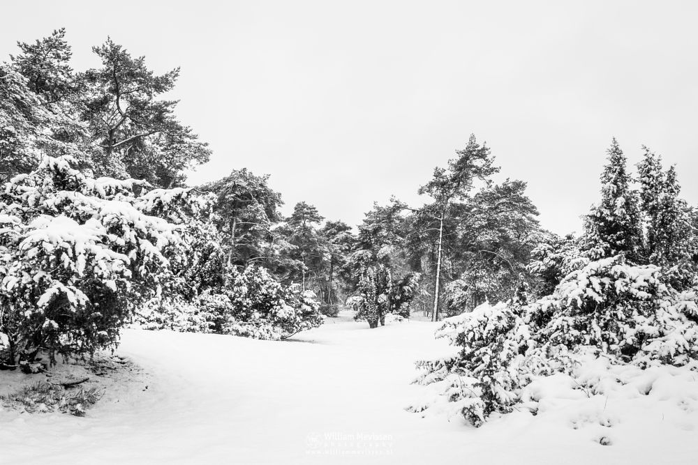 Photo in Black and White #boshuizerbergen #boschhuizerbergen #noord-limburg #limburg #nature #forest #juniper #thickets #shiftingsand #winterlandscape #winter #snow #winterscape #netherlands #woods #venray