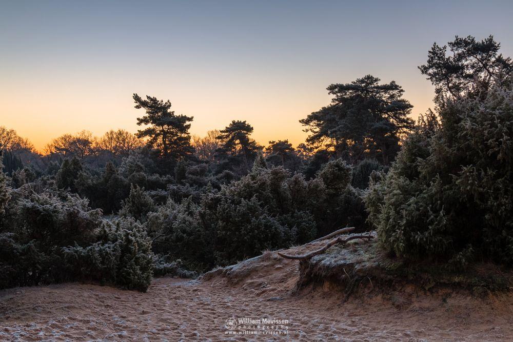 Photo in Landscape #boshuizerbergen #boschhuizerbergen #limburg #noord-limburg #venray #nature #netherlands #sunrise #sunlight #juniper #juniper thickets #jeneverbes #sand #sanddunes