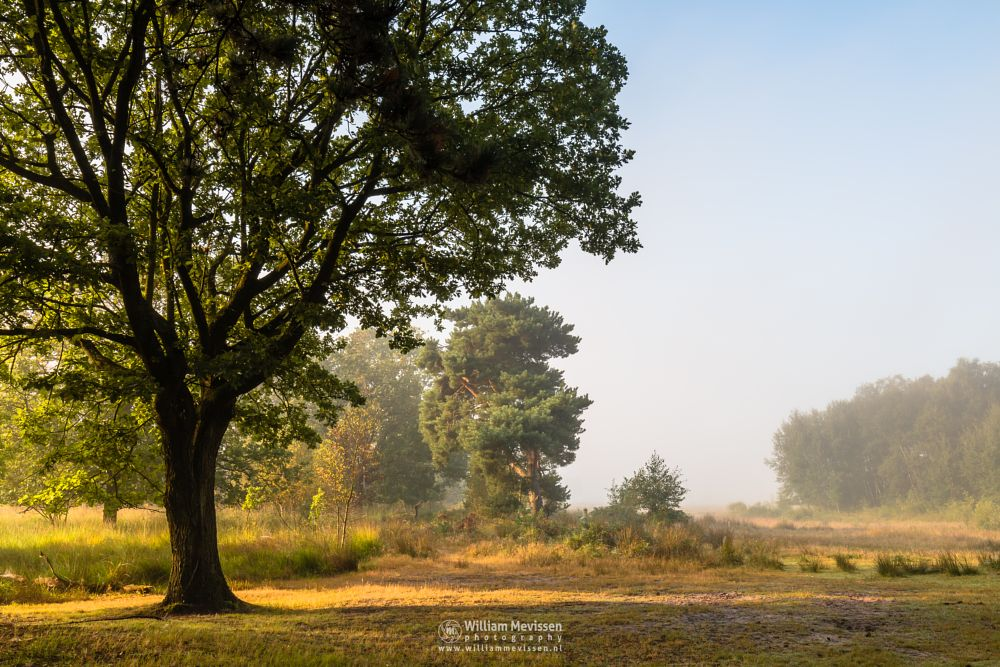 Photo in Nature #bergerheide #forest #woods #maasduinen #limburg #noord-limburg #nieuw-bergen #bergen #nature #light #goldenhour #trees #summer #mist #mood #sunrise #dunes #tree