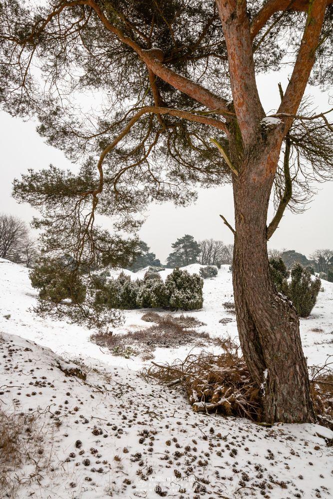 Photo in Nature #limburg #boschhuizerbergen #boshuizerbergen #woods #snow #winter #winterlandscape #juniper #tree #trees #winterscape #netherlands #venray #nature #noord-limburg