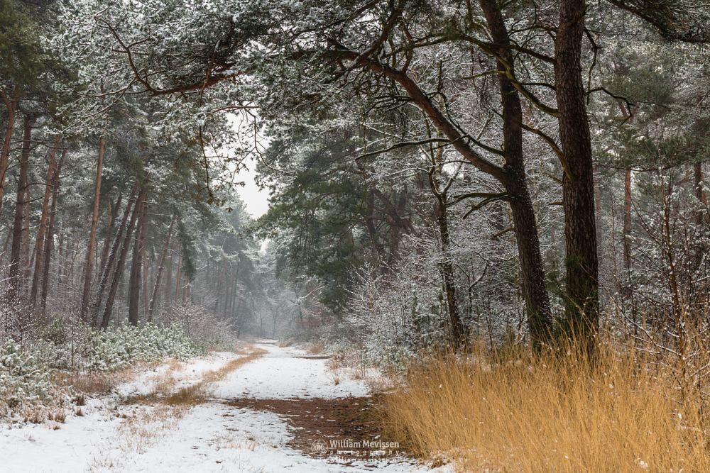 Photo in Nature #boshuizerbergen #boschhuizerbergen #limburg #noord-limburg #venray #nature #forest #woods #netherlands #pine #path #snow #grasses #winter #oostrum #geijsteren #landgoed geijsteren