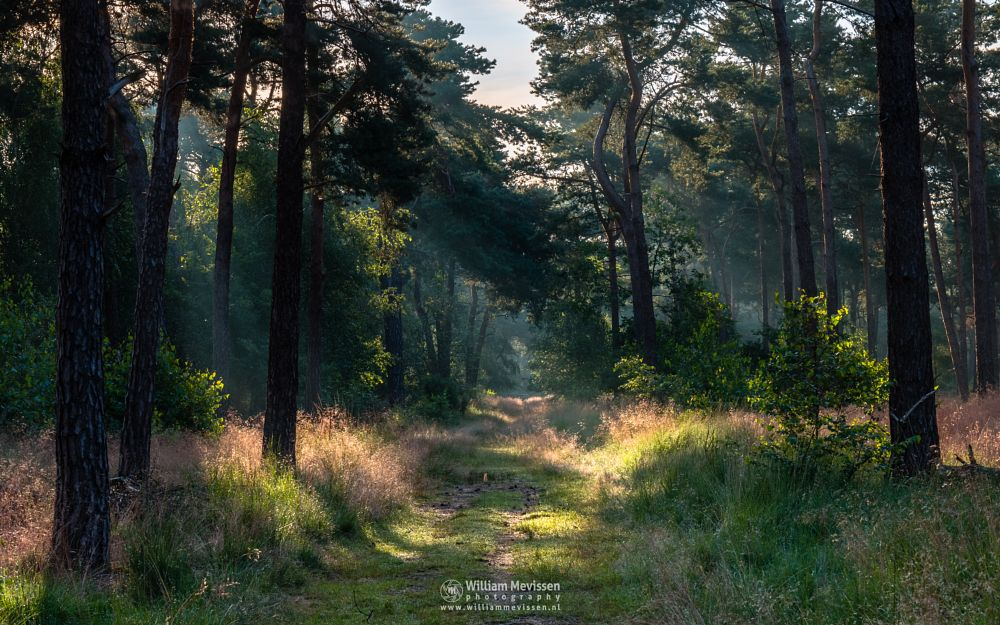 Photo in Nature #boshuizerbergen #boschhuizerbergen #limburg #noord-limburg #venray #nature #nature reserve #forest #woods #limburgs landschap #netherlands #pine #pine forest #sunrise #light #rays #landgoed geijsteren #path #beams