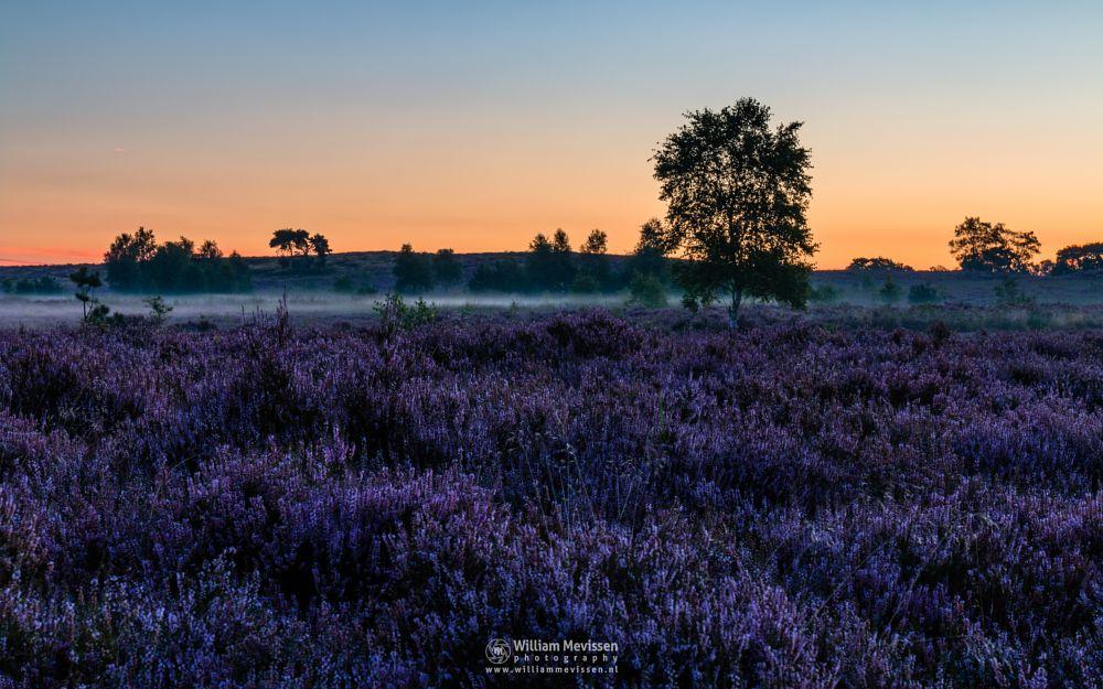 Photo in Landscape #forest #woods #heathland #maasduinen #limburg #noord-limburg #wellerlooi #bergen #national park #nature #light #land #trees #sunrise #heather #mist #misty #fog #foggy #twilight #purple #blooming