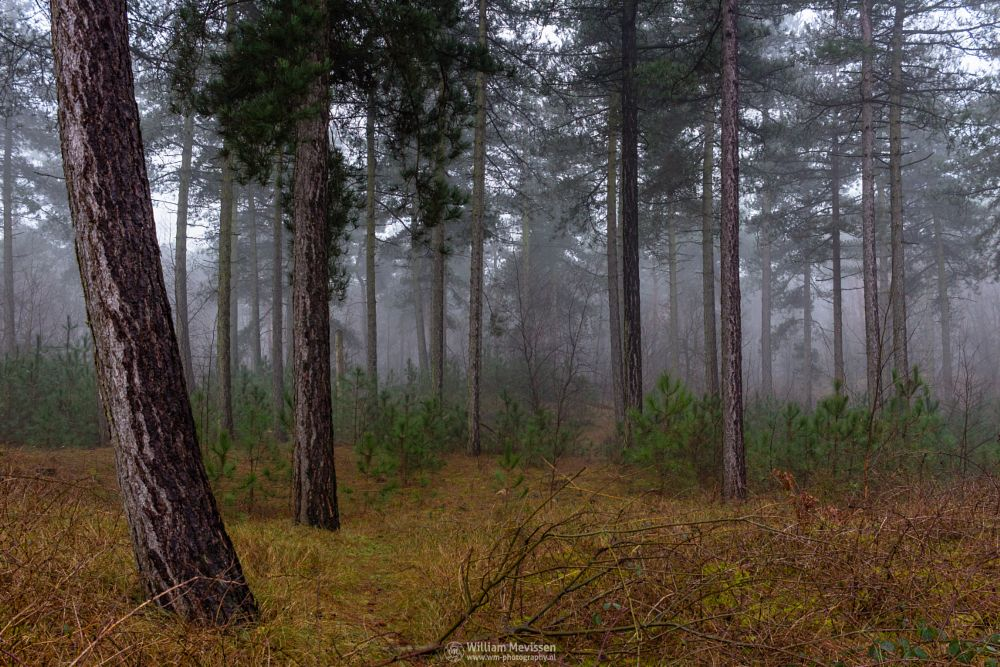 Photo in Nature #reindersmeer #maasduinen #well #forest #fog #mkist #foggy #misty #nature #limburg #noord-limburg #trees #pine forest