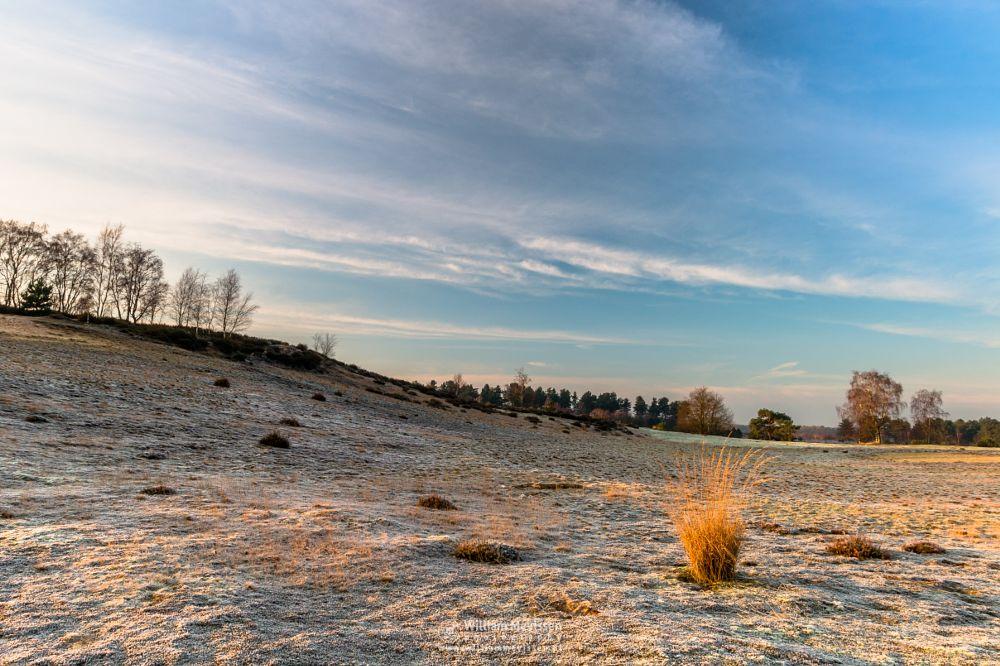 Photo in Landscape #bergerheide #forest #woods #heathland #maasduinen #limburg #noord-limburg #nieuw-bergen #bergen #national park #nature #frosty #frost #sand #dunes #sanddunes #winter #sunrise #golden #grass #clump
