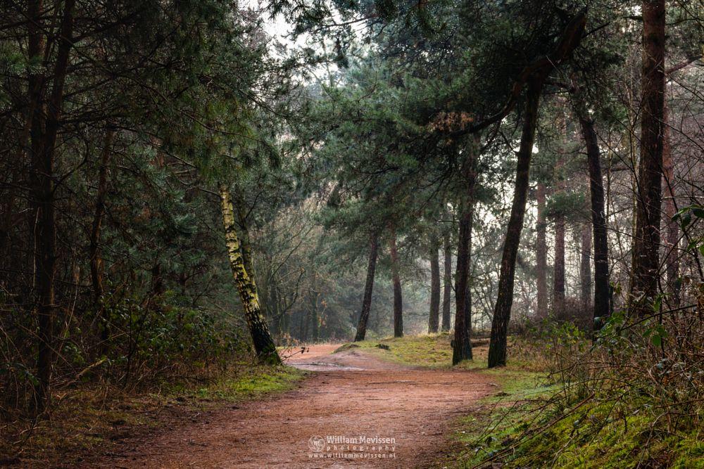 Photo in Nature #mist #misty #fog #foggy #path #sun #sunlight #trees #tree #pine #pine forest #green #forest #birch #lake #reindersmeer #maasduinen #limburg #noord-limburg #well #national park #nature
