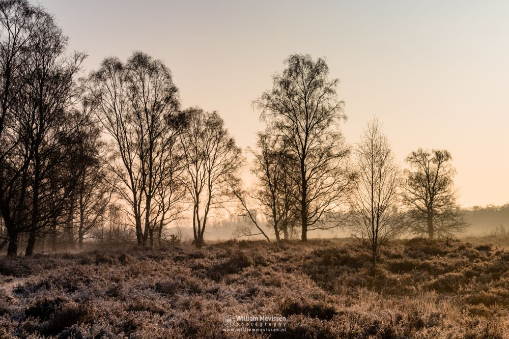 Photo in Nature #light #tree #landgoed #estate #de hamert #hamert #landgoed de hamert #maasduinen #noord-limburg #wellerlooi #limburg #national park #limburgs landschap #trees #heather #heathland #forest #misty #foggy #nature #mist #fog #golden #golden hour