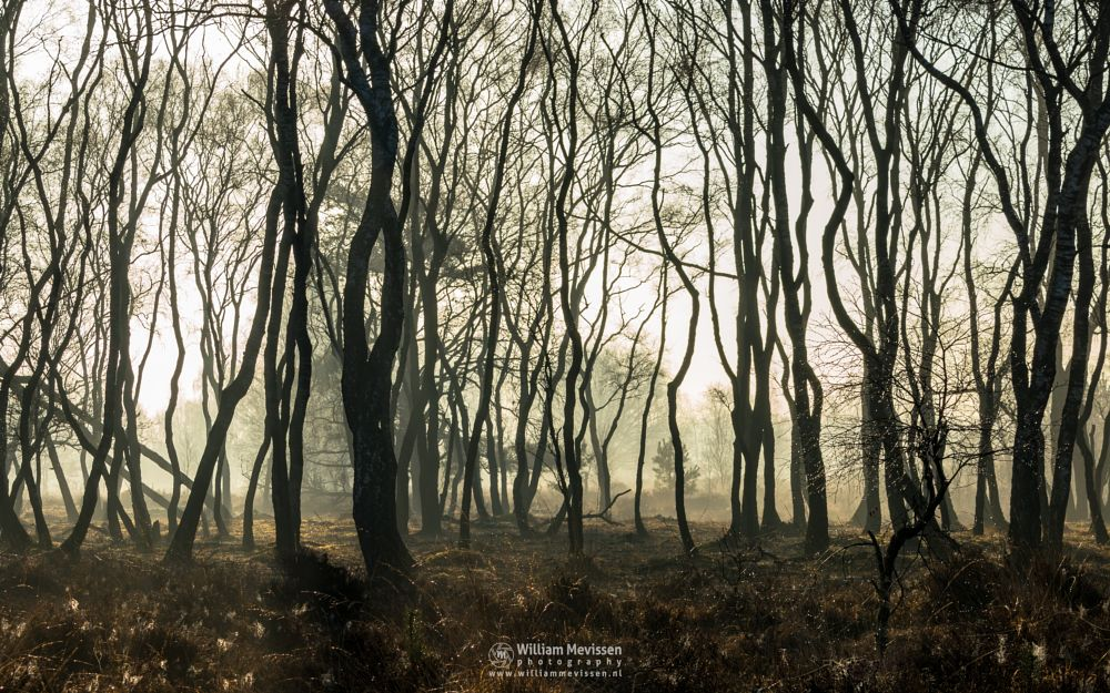 Photo in Nature #bergerheide #forest #woods #heathland #maasduinen #limburg #noord-limburg #nieuw-bergen #bergen #national park #nature #path #sunrise #light #silhouettes #trees #mist #misty #fog #foggy #silhouette #birch