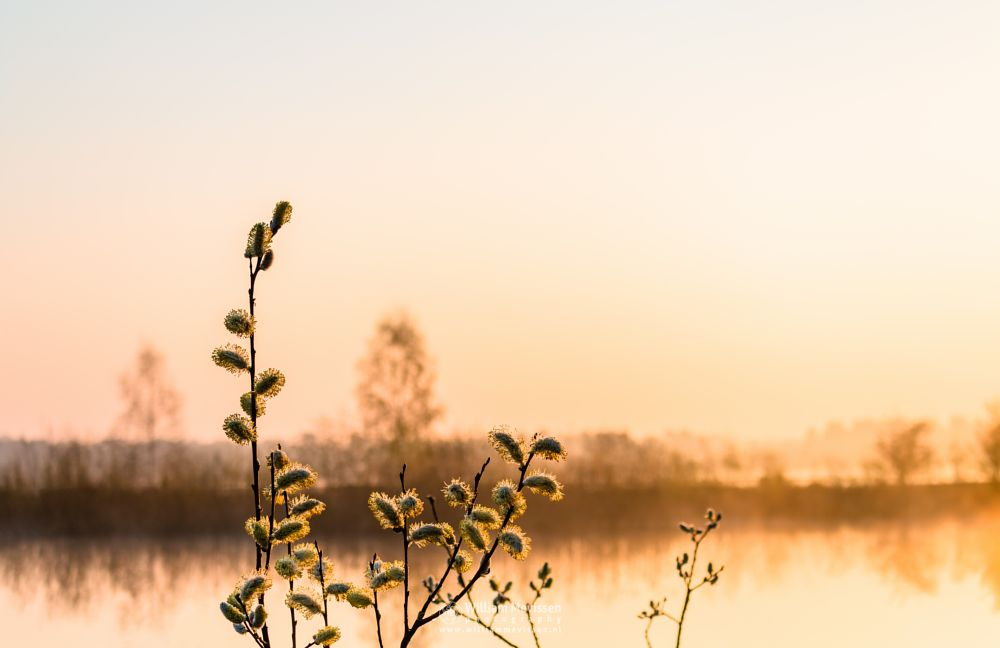 Photo in Nature #lake #limburg #maasduinen #nature #noord-limburg #reindersmeer #tree #trees #well #bergen #national park #sunrise #mist #misty #fog #foggy #light #golden light #catkins #fen