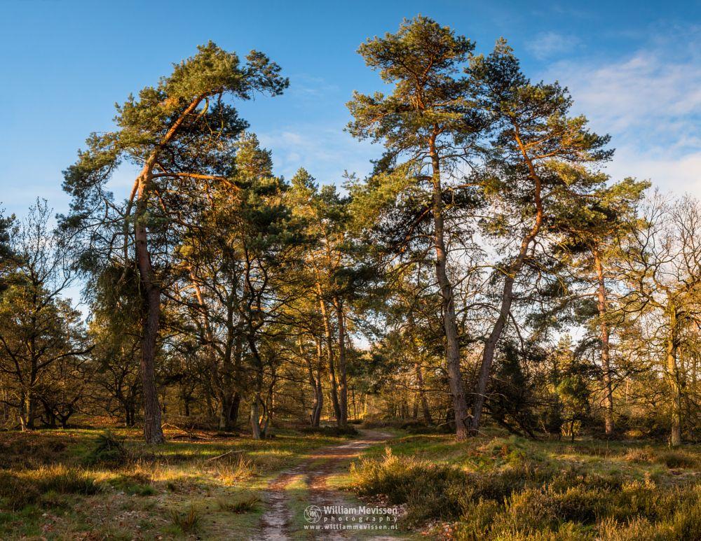 Photo in Nature #boshuizerbergen #nature #boschhuizerbergen #limburg #noord-limburg #venray #nature reserve #forest #woods #heather #heathland #limburgs landschap #netherlands #pine #pine forest #sunrise #sun #path #trees