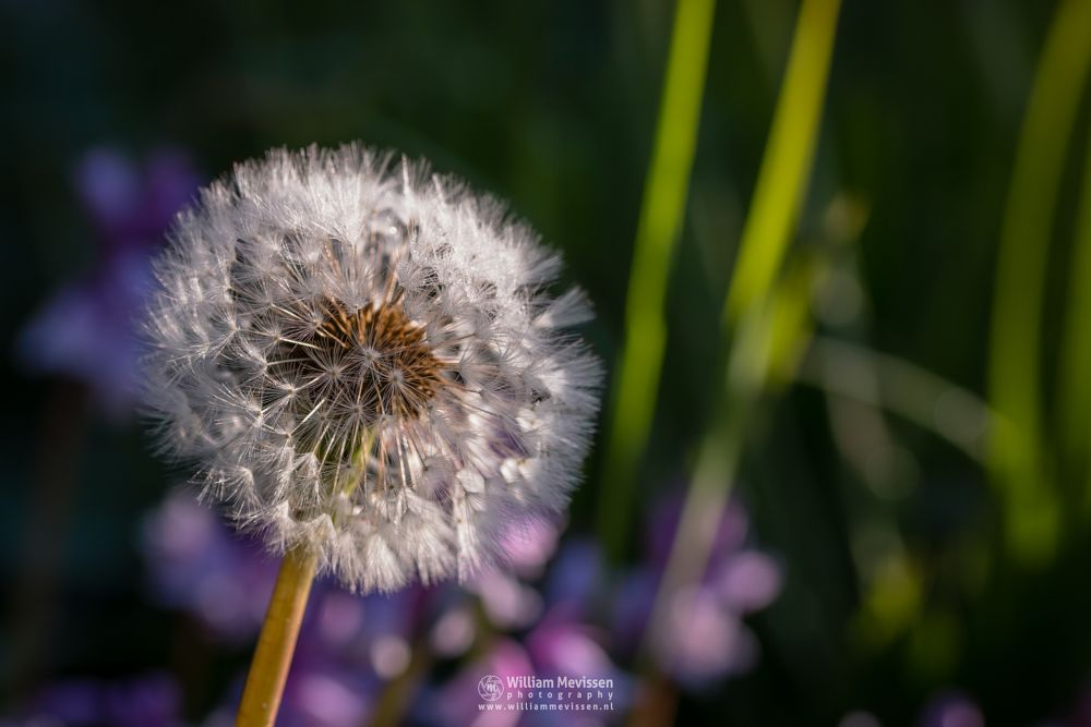 Photo in Macro #dandelion #macro #colors #sunrise #clock #bokeh #colorful #delicate #light