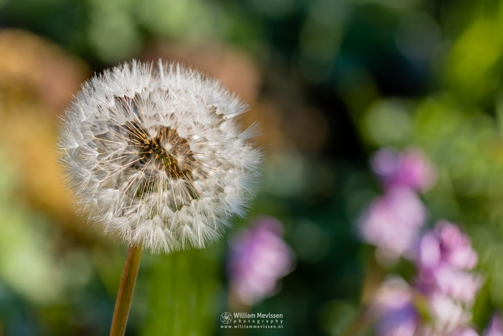 Photo in Macro #paardebloem #lowenzahn #bokeh #colorful #delicate #light #pusteblume #paardenbloem #dandelion #colors #sunrise #core #macro