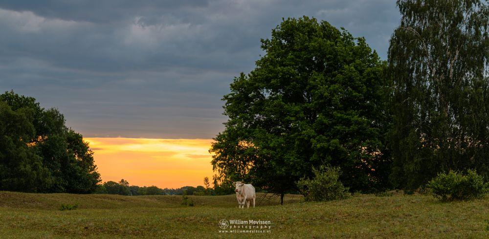 Photo in Animal #bergerheide #forest #woods #heathland #maasduinen #limburg #noord-limburg #nieuw-bergen #bergen #national park #nature #sand #sanddunes #dunes #sunrise #light #clouds #trees #cow #encounter