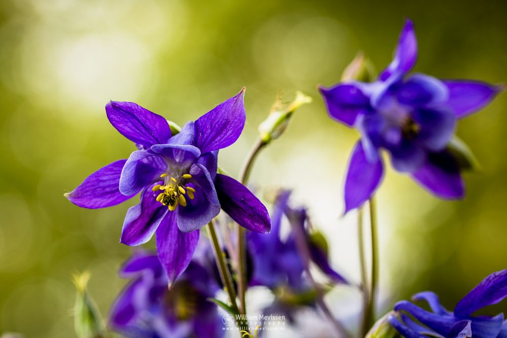 Photo in Macro #macro #vlowers #garden #green #blue #purple #light #bokeh #aquilegia vulgaris #akelei #european columbine #common columbine #granny's nightcap #granny's bonnet