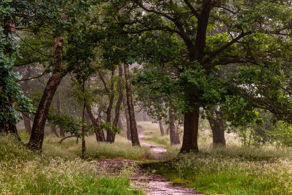 Photo in Nature #light #tree #landgoed #landgoed de hamert #de hamert #hamert #maasduinen #noord-limburg #limburg #wellerlooi #national park #nature #limburgs landschap #trees #forest #path #mist #fog #foggy #silhouettes #birches