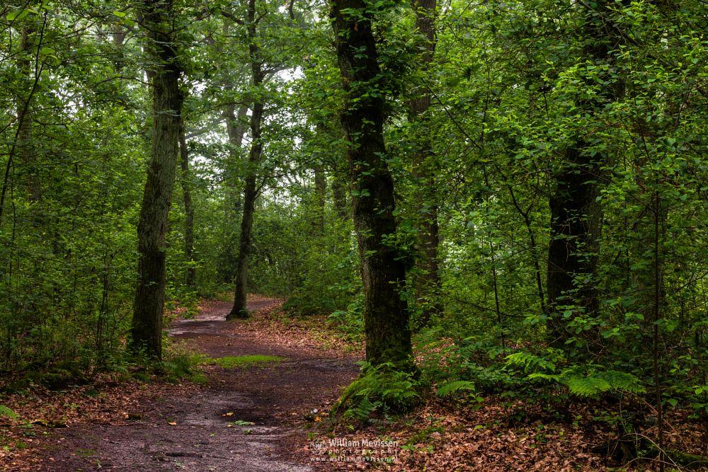Photo in Nature #light #tree #hamert #de hamert #maasduinen #noord-limburg #limburg #wellerlooi #national park #nature #trees #path #mist #foggy #route #trunks #curvy